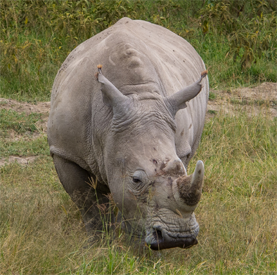 White Rhino at Lake Nkuru